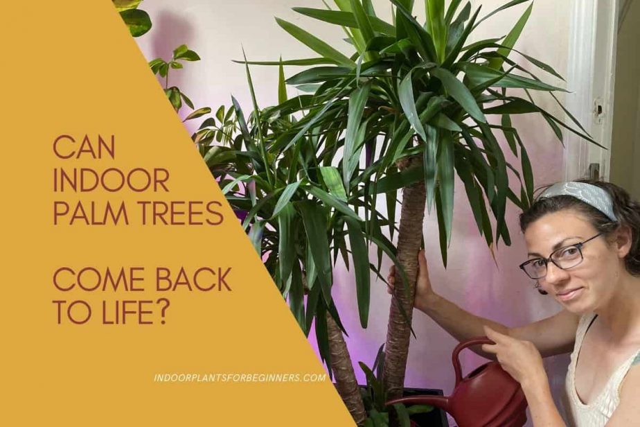 Can Indoor Palm Trees come back to life? Anya from IndoorPlantsforBeginners.com watering an indoor palm tree