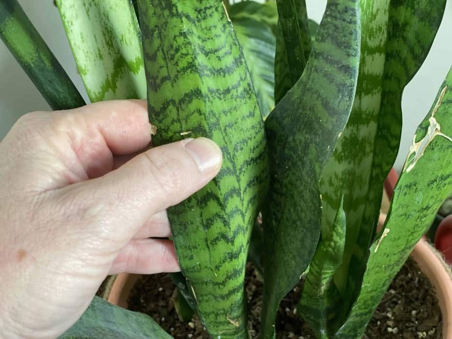 Picture of Fred zimmer feeling the leaves of the snake plant to demonstrate how to determine the specific type of snake plant by the colors, lines and hues of the leaves