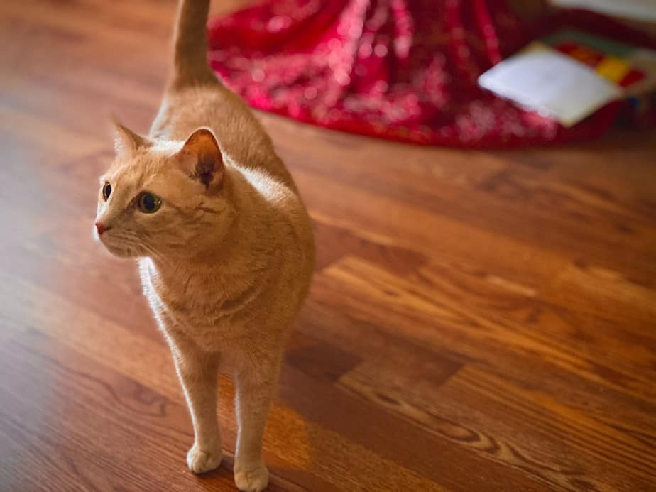 Picture of my beloved 10 year old cat Izzy walking on our hardwood floor in front of our Christmas tree.. She's an orangish and white color with big beautiful blue-green eyes.
