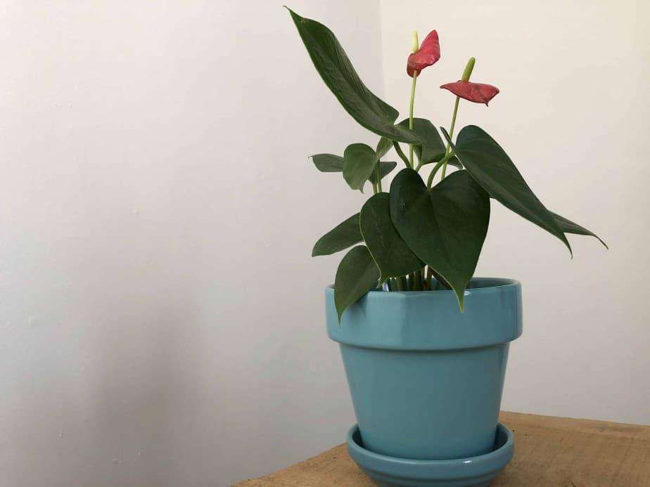 Anthurium in light blue planter on table at indoorplantsforbeginners.com plant room