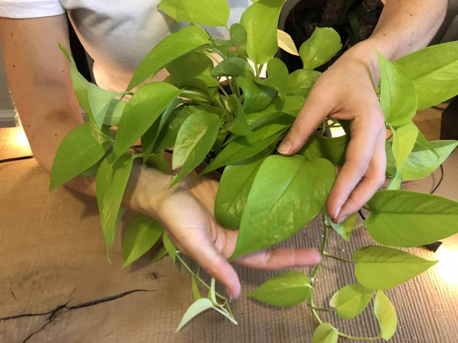 Anya holding the leaves of a neon pothos on the desk at indoorplantsforbeginners.com plant room