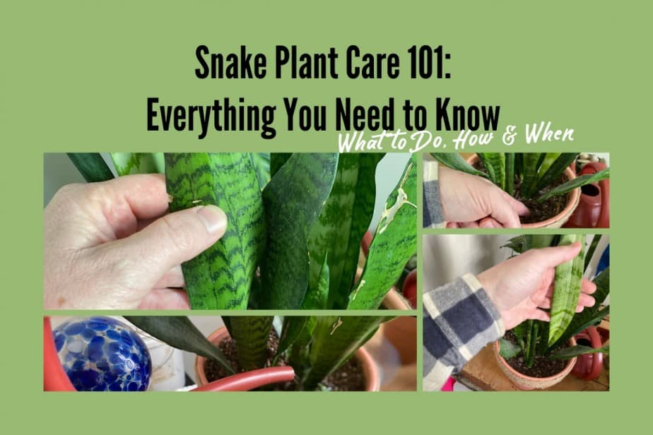 A three picture collage of the snake plant showing the leaves, how to test the soil for dryness and watering the plants soil only, being careful not to get the leaves wet in the process.