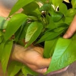 hands folding the leaves over on a neon pothos