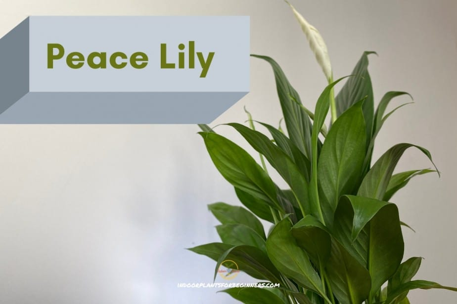 Peace Lily Blooming houseplants