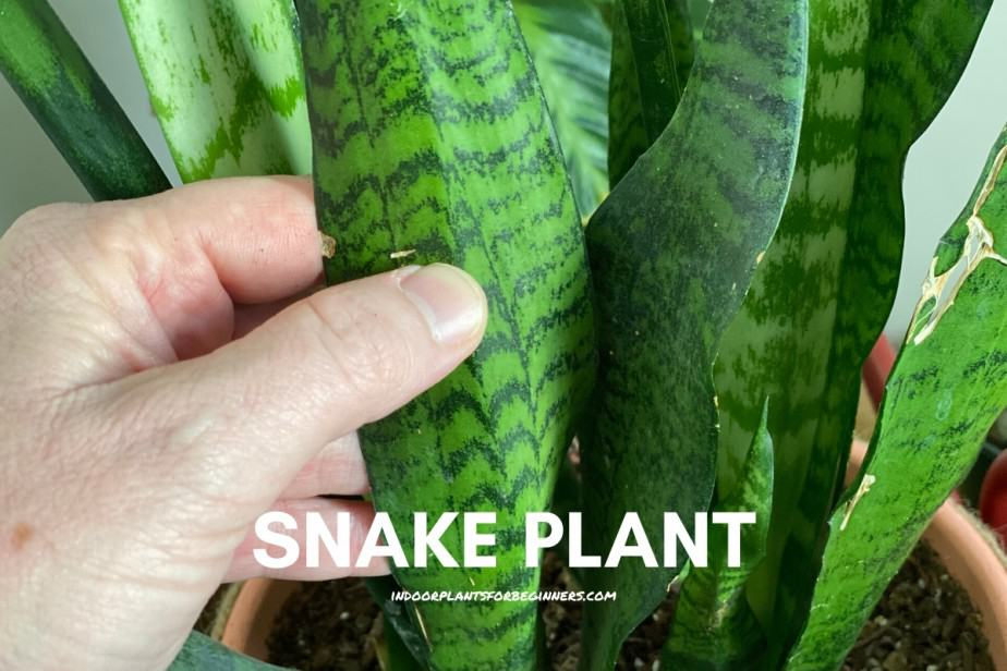 Picture of Fred from Indoor plants for beginners holding the leaves of a snake plant