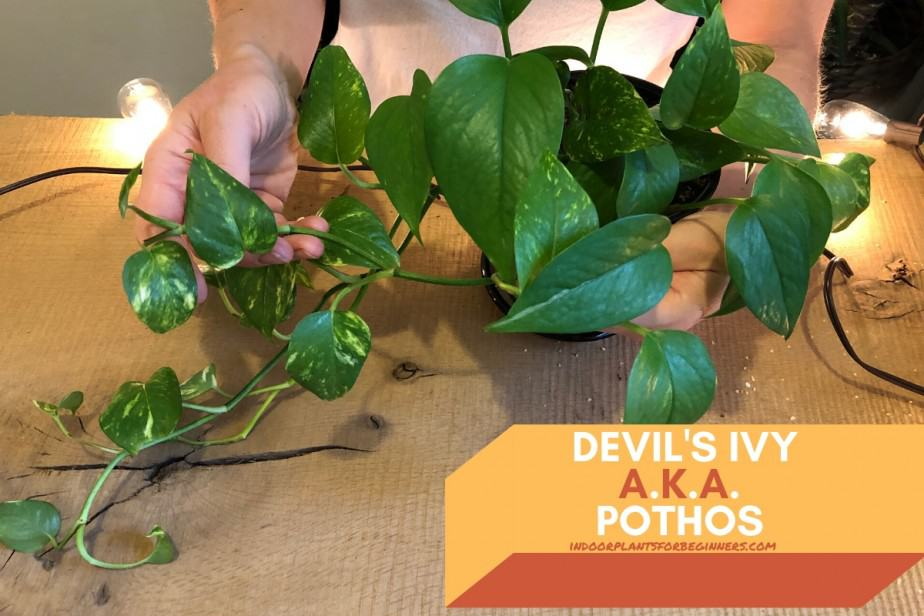 Anya from indoorplantsforbeginners.com showing the green variegated vines of a Pothos or Devil's Ivy houseplant