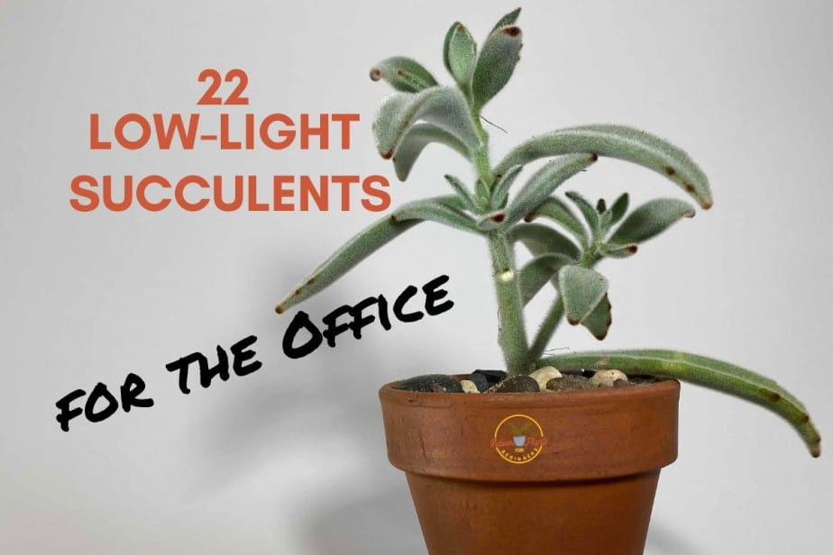 22 low-light succulents for the office