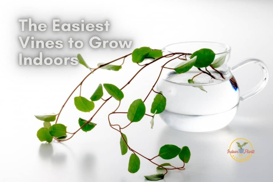 15 Easiest Vines to Grow Indoors