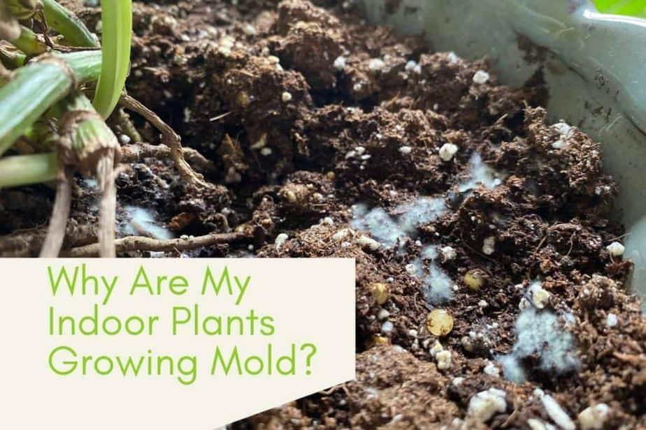 picture of mold growing on soil of indoor potted Pothos via Indoorplantsforbeginners.com