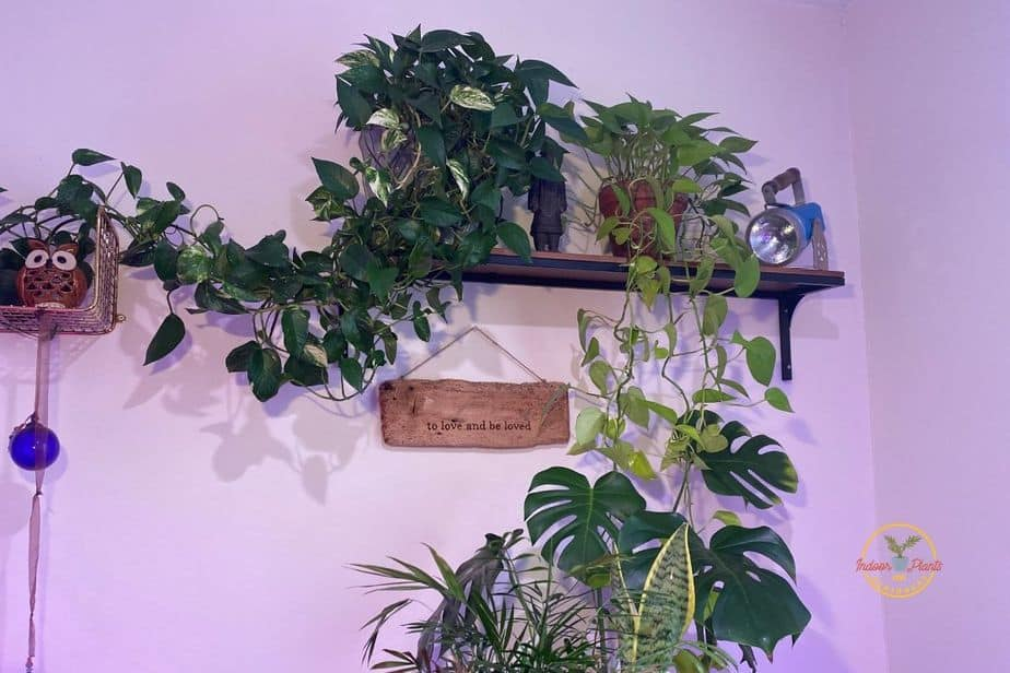 pothos and philodendron plants are wonderful Indoor Vines that thrive in Low-Light Environments