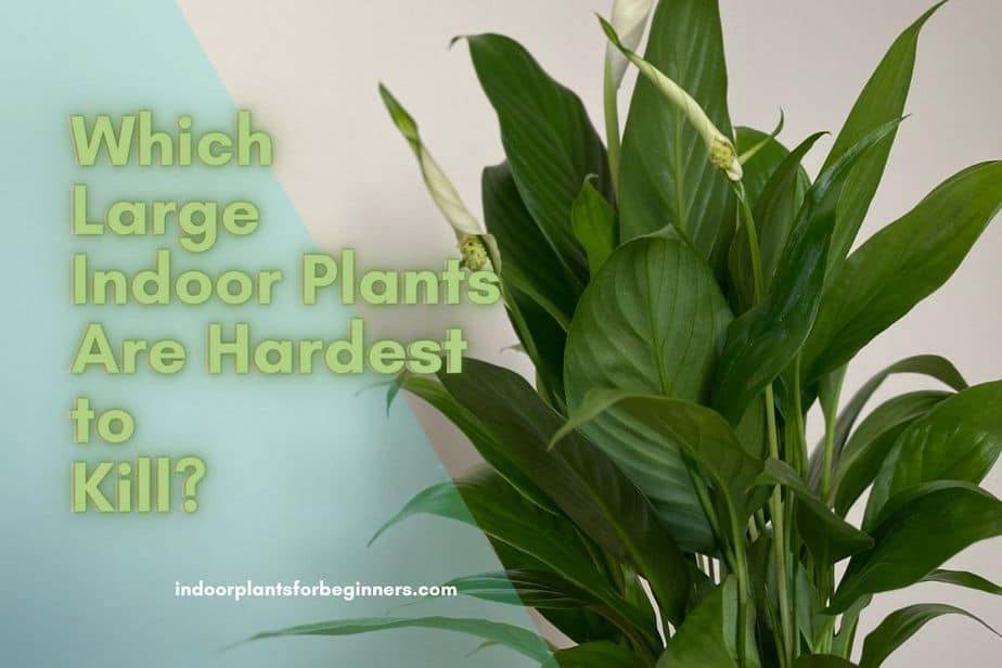 Which Large Indoor Plants Are Hardest to Kill? Indoorplantsforbeginners.com