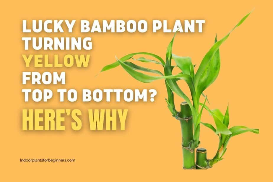 lucky bamboo plant turn yellow from the top because of specific reasons-indoorplantsforbeginners.com