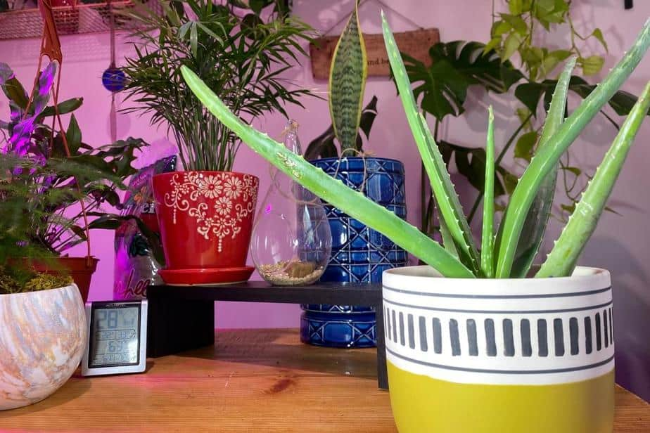 picture of assorted trendy plants for 2021 including Monkey tail cactus, African milk tree, Alocasia Polly, Snake plant, Ficus altissima, Chinese money plant and MORE...