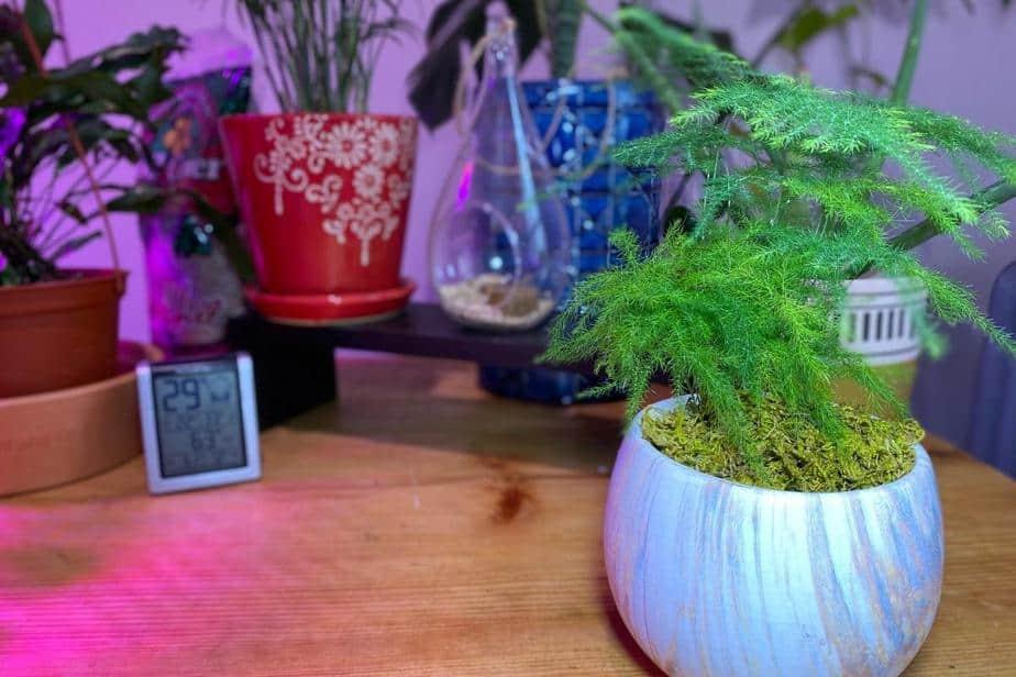 Asparagus asparagus setaceus Plant or The Asparagus fern