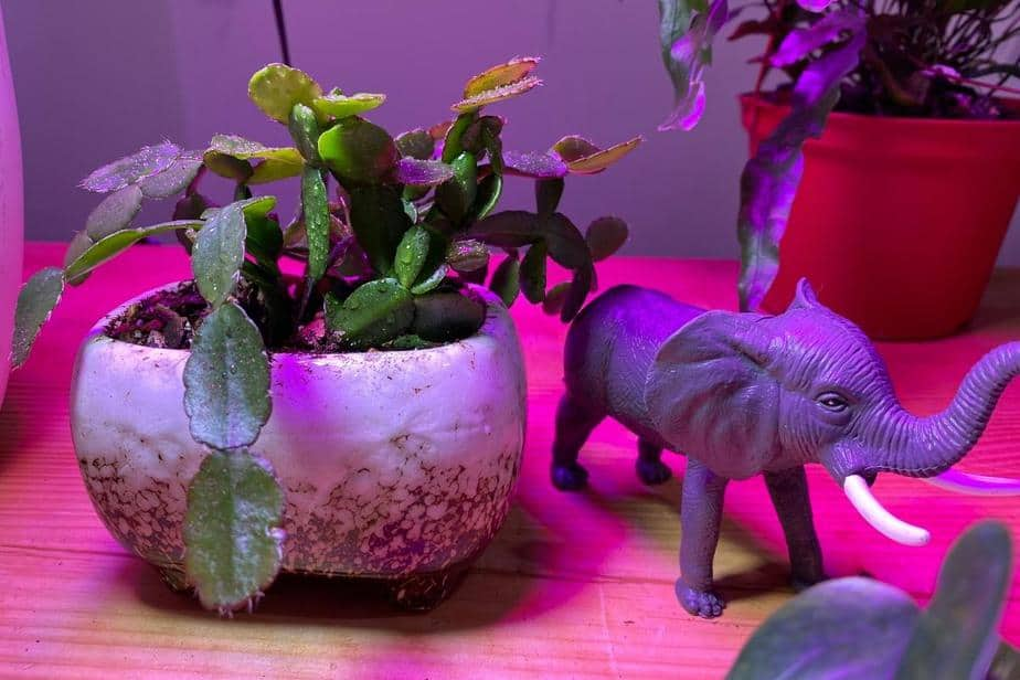 small easter cactus indoor plants
