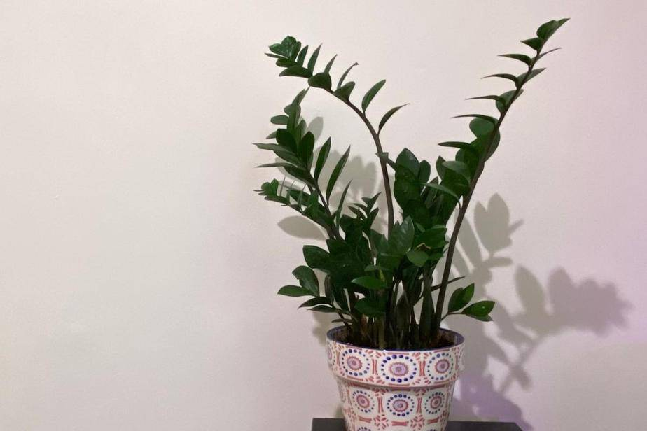picture of a Leggy ZZ Plant or Zamioculcas zamiifolia leaning towards any light it can find