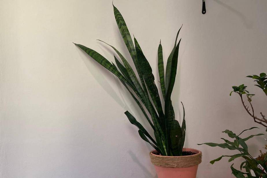 Snake plant leaning droopy and about to fall over