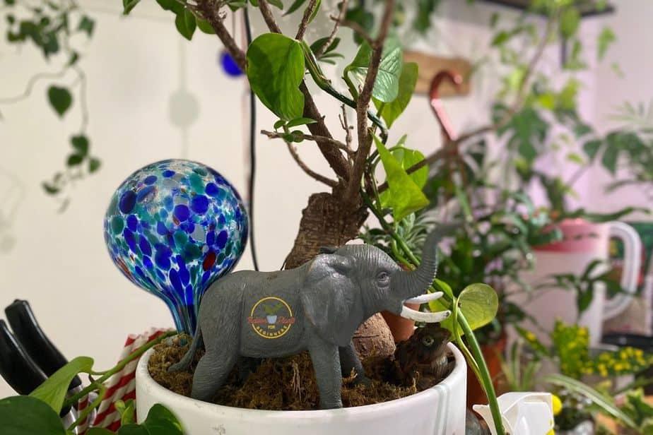 Self watering aqua globe in the soil of an indoor bonsai tree