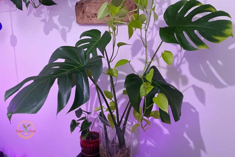 """Swiss Cheese Plant Monstera Deliciosa growing in water and Sweating dripping water or """"crying"""""""