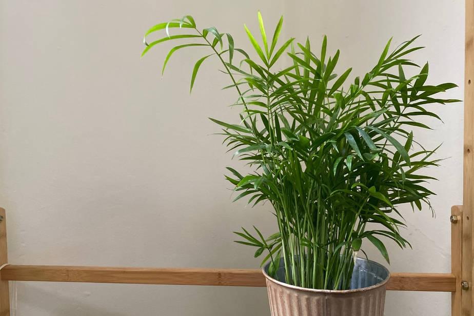 Chamaedorea elegans - Parlor Palm  on wooden shelf