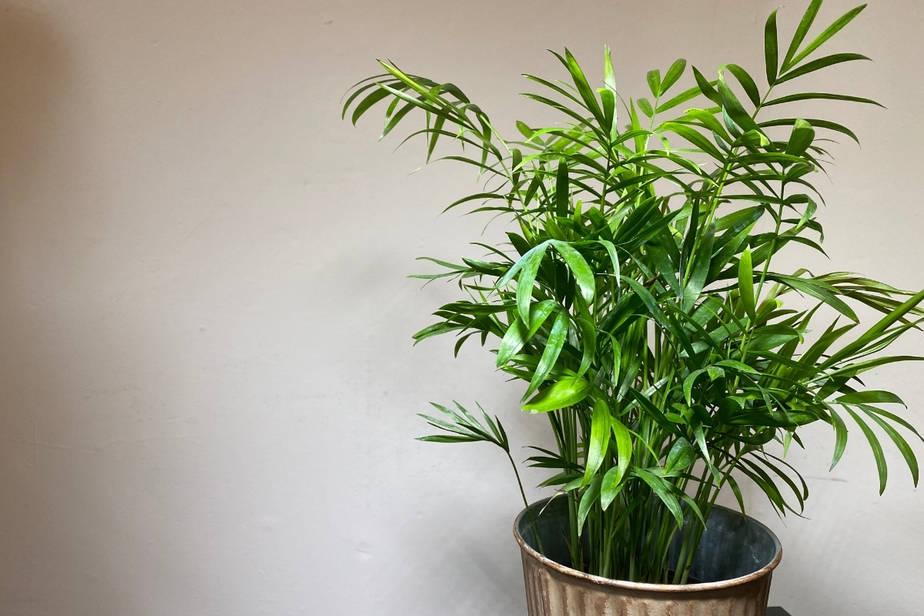 Chamaedorea elegans love palm