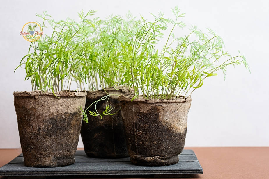 Dill grown from seed germination