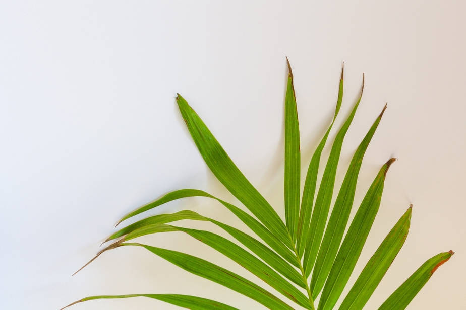 Majesty Palm_ browning leaves