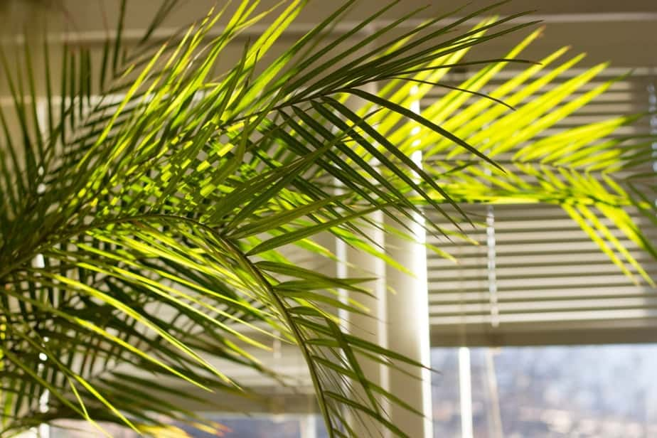 majesty palm growing indoors near window with curtains and blinds blocking out the sun