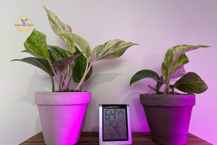 two marble queen pothos plants on shelf at office
