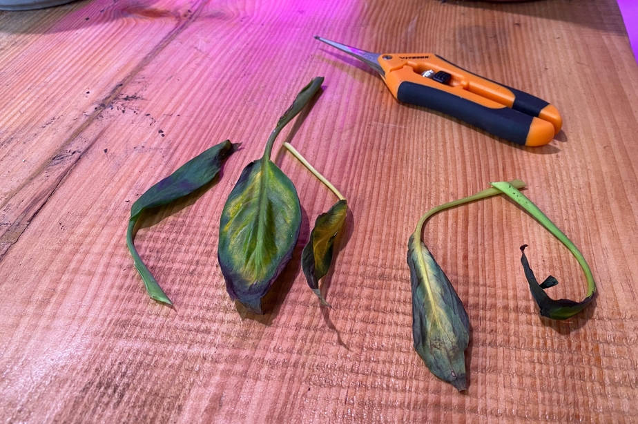 burnt droopy peace lily leaves on the work table with pruning shears