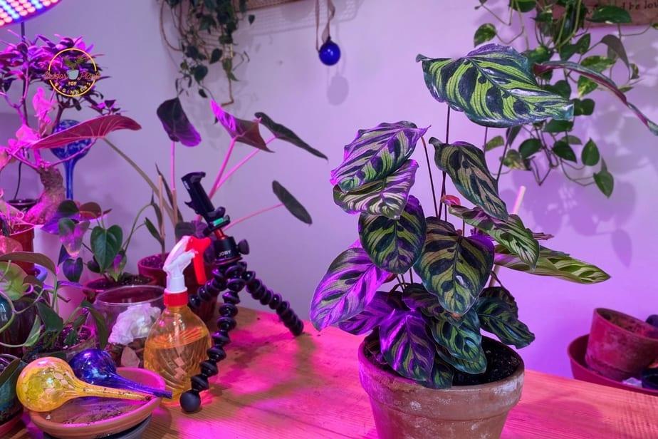 Peacock Plant - Calathea Makoyana on table at indoor plants for beginners near grow light