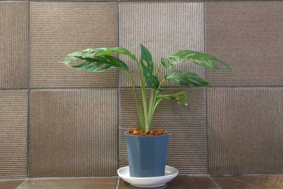 Mini Monstera plant Rhaphidophora Tretrassperma Philodendron on bathroom shower ledge