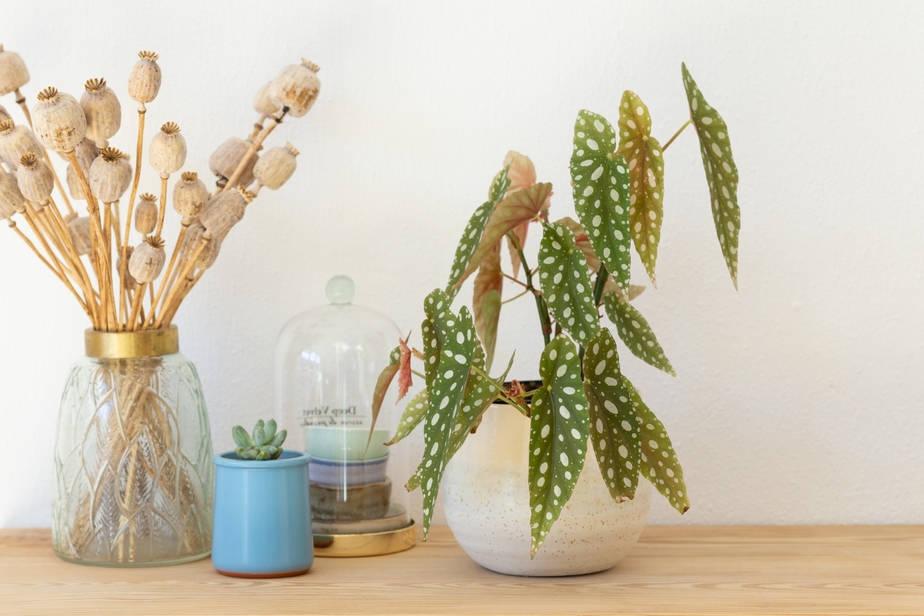 Polka Dot Begonia_ Plant  (Begonia Maculata) on desk getting indirect bright light
