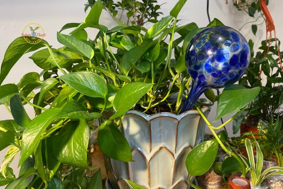 Water globe watering a pothos regularly to avoid root root or overwatering pothos plant