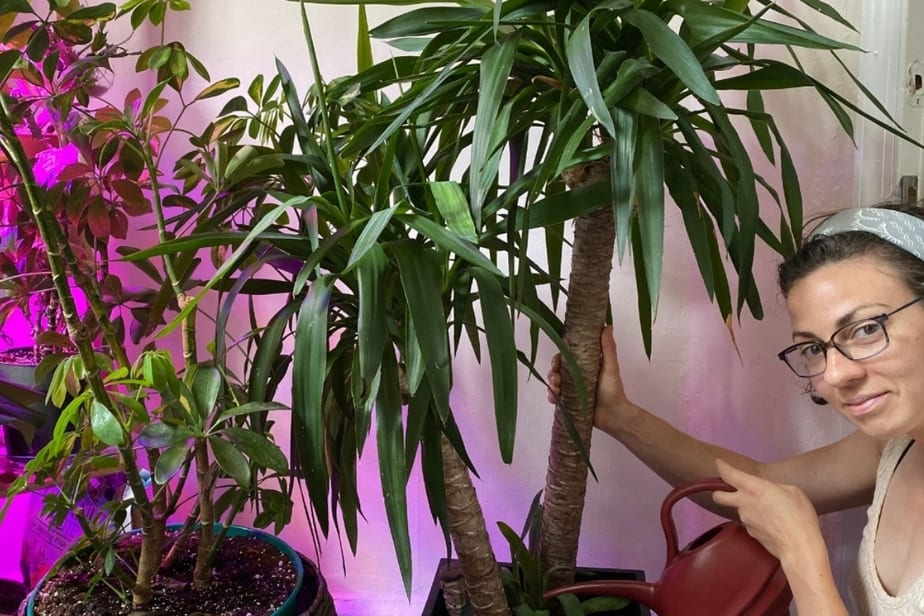 Yucca Palm (Yucca elephantipes) being watered by Anya Anthony at indoorplantsforbeginners